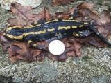 <h5>Salamander</h5>