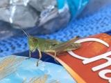 <h5>Grasshopper</h5>