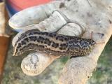 <h5>Leopard slug</h5>