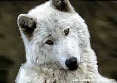 wolf_240