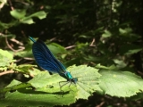 <h5>Beautiful demoiselle</h5>