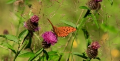 <h5>Silver-washed fritillary</h5>