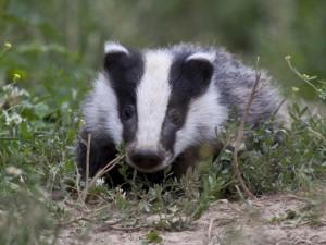 Badger Cub 3 sm